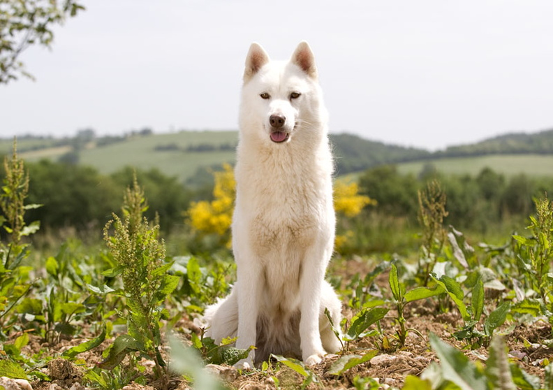 Photo calendrier Affixe édition de nos chiens Husky