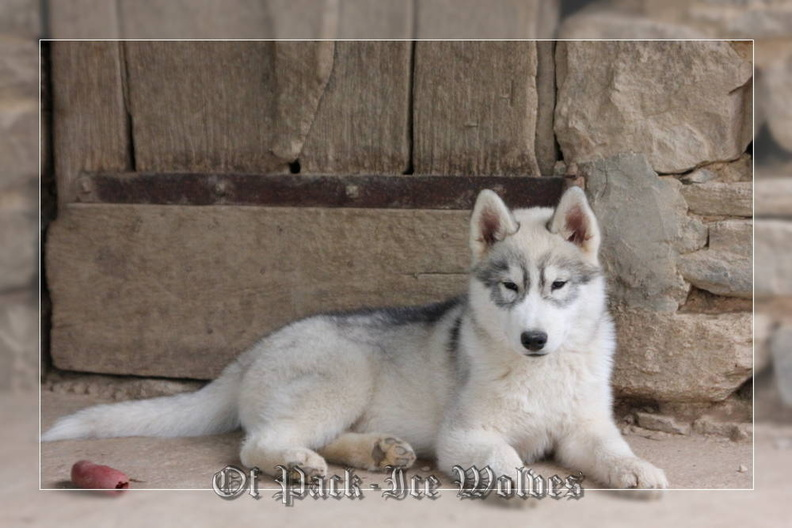 siberian-husky-male-gris-warrior-001