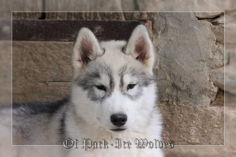 siberian-husky-male-gris-warrior-002
