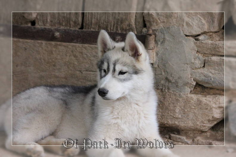 siberian-husky-male-gris-warrior-003