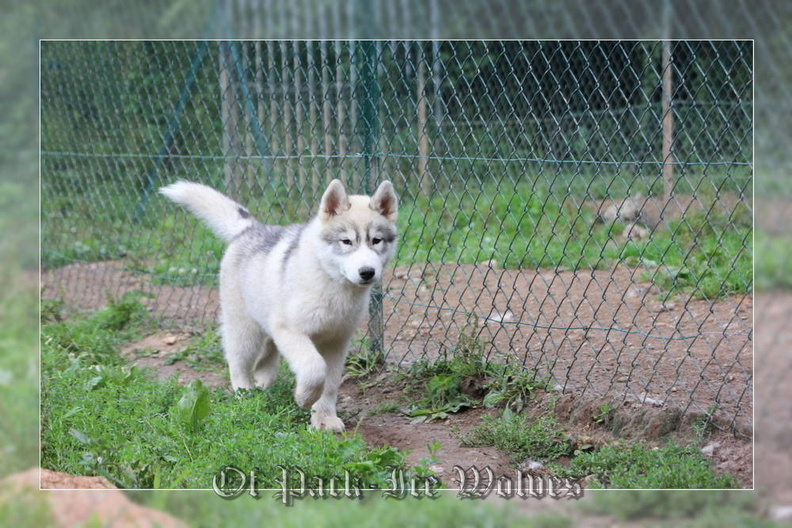 siberian-husky-male-gris-warrior-004