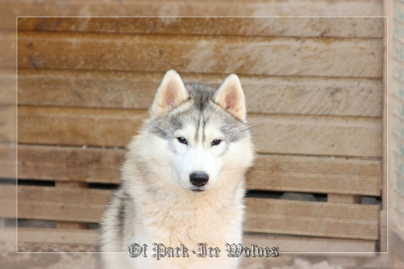 siberian-husky-male-gris-warrior-006