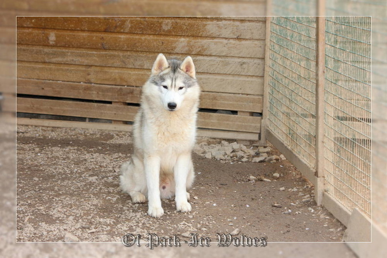 siberian-husky-male-gris-warrior-007