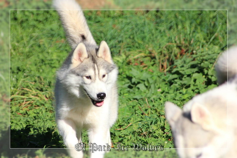 siberian-husky-male-gris-warrior-009