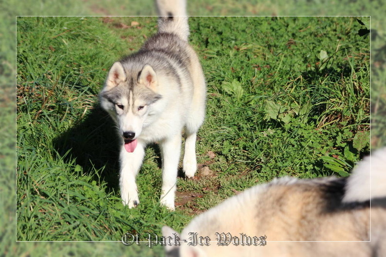 siberian-husky-male-gris-warrior-010