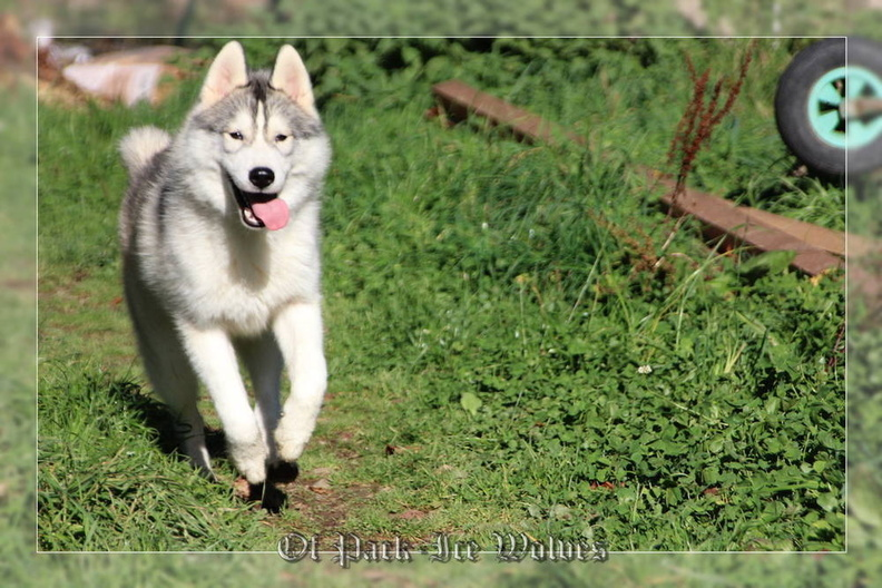 siberian-husky-male-gris-warrior-011