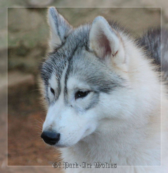 siberian-husky-male-gris-warrior-012