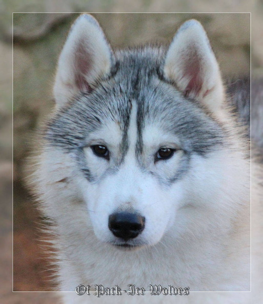 siberian-husky-male-gris-warrior-013